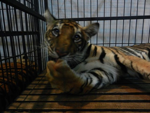 A baby tiger in a tiny cage.